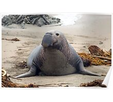 elephant seal alpah male Poster