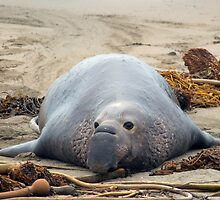 sleepy elephant seal by photoeverywhere