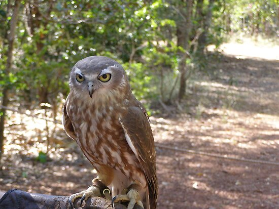 The Handsome Australian Barking Owl. Bird Park. Darwin N.T. by Rita Blom