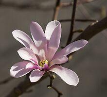 Sunny Pink Magnolia Blossom by Georgia Mizuleva