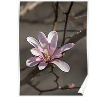 Sunny Pink Magnolia Blossom Poster