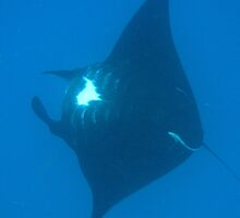 Manta ray filter feeding by photoeverywhere