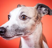 Whippet Portrait by paulwhittle