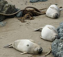 point piedras blancas seal colony by photoeverywhere