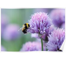 Bumblebee on an Onion Flower Poster