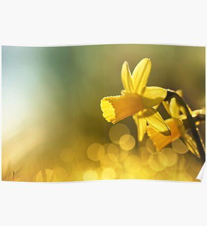Awakening Daffodils Poster
