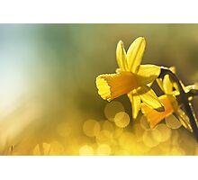 Awakening Daffodils Photographic Print
