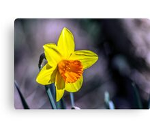 First of the Spring daffodils Canvas Print