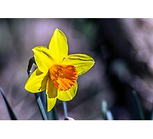 First of the Spring daffodils Photographic Print