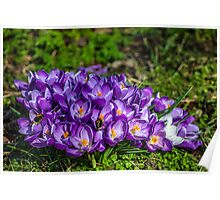 Purple crocus and bees Poster