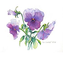 Lavender Pansy Photographic Print