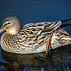 Female Mallard Duck by Paul Madden