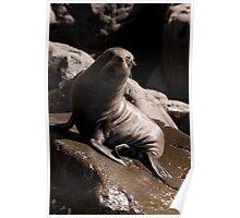 Seal at Cape Bridgewater Poster