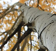 Aspens by CRUSSE