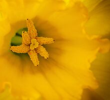 Daffodil by J. Day
