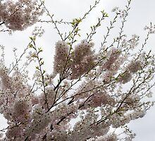 Springtime Abundance - Gently Pink Cherry Blossoms by Georgia Mizuleva