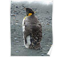 Moulting King Penguin Poster