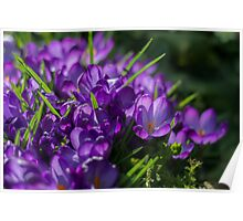 Purple Crocuses Poster