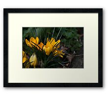Yellow Crocuses Framed Print