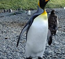 King Penguin by Kaz-antarctica