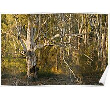 Morning Light on Gum Tree by the River Poster