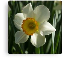 Poet's Daffodil Square Canvas Print
