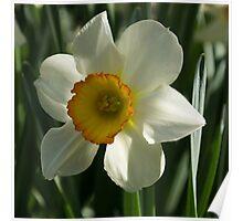 Poet's Daffodil Square Poster