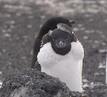 Adelie Penguin - moulting by Kaz-antarctica