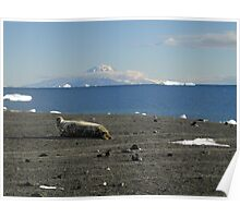 Weddell Seal with Mt Erebus behind Poster
