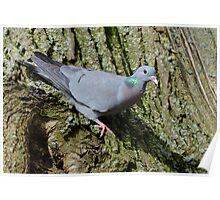 Stock dove (Columba oenas Linnaeus) Poster