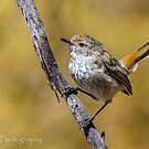 Inland Thornbill by Rick Playle