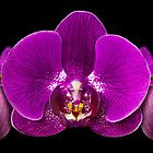 Crown of Orchids by Mary Lewis