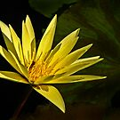 Yellow Waterlily with leaf by cclaude