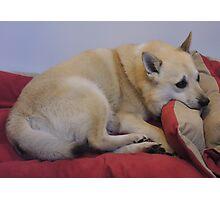 Comfy Buhund Photographic Print