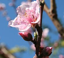 Delicate Buds of Peach Tree Blossom by taiche