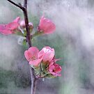Chaenomeles Japonica by Astrid Ewing Photography