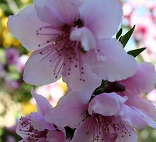 Pastel Shades of Peach Tree Blossom by taiche