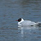 Black-headed Gull by Sue Robinson