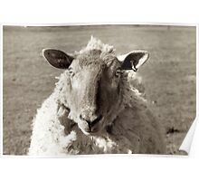 Sheep in black and white Poster