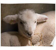 New-born Lamb under Heat Lamp Poster