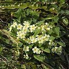 Primroses by Sue Robinson