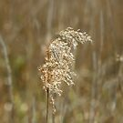 Reed Seedhead by Sue Robinson