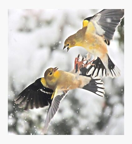 Finch Fight Photographic Print