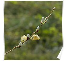 Pussy Willow Poster