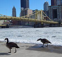 Canadian Geese Walking By Frozen River by gsnorto