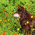 A Thoughtful Moment For  Australian Shepherd by Debbie Oppermann