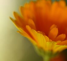 orange flower  by hannahlancaster