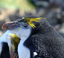 Royal Penguin - Macquarie Island by Kaz-antarctica