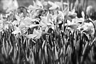 B&W Daffodils by NatureGreeting Cards ©ccwri