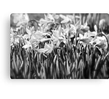 B&W Daffodils Canvas Print